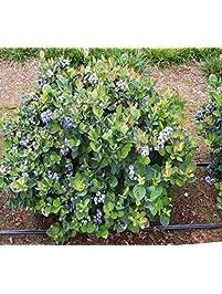 Top Hat Dwarf Blueberry   Live Plant   Quart Pot