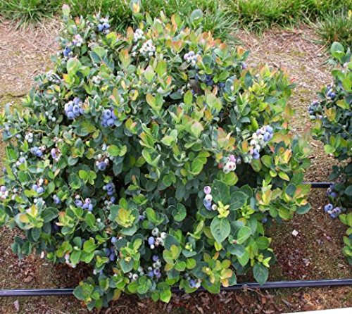 Top Hat Dwarf Blueberry - Live Plant - Quart Pot