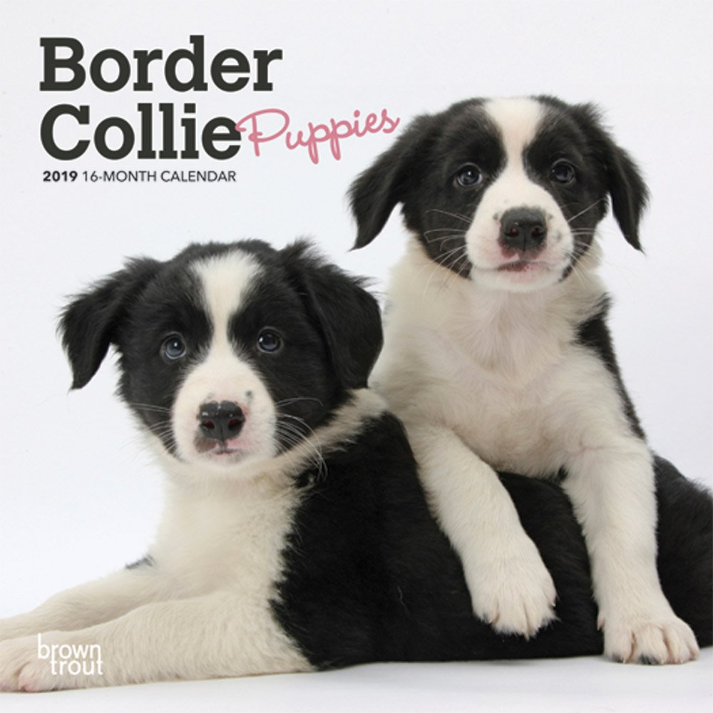Amazoncom Border Collie Puppies 2019 7 X 7 Inch Monthly Mini Wall
