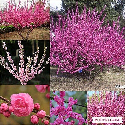 Nianyan 15 seeds-Prunus triloba seed, Rehmannia glutinosa, Potted planting, Flowering Plum Tree Flower Seeds, flowering plants ()