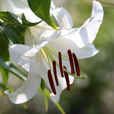 Oriental Lily Casa Blanca |15 Flower Bulbs 16/18cm | White | from Longfield Gardens : Garden & Outdoor