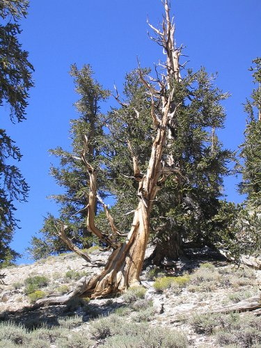 Ancient Bristlecone Pine Tree Growing Kit - Pinus Aristata - Grow Evergreen Pines from Seed To Saplings - Kit Includes Seeds, Instructions, More.