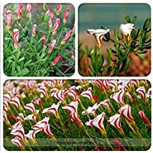 The Best Seller Rare Oxalis Versicolor Candy Cane Sorrel Seeds, Professional Pack, 100 Seeds / Pack, World's Rare Flowers For Garden Home Plants.