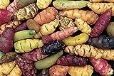 3 tubers Oca Tubers - Oxalis tuberosa - New Zealand Yam