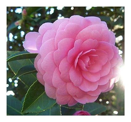 Amazon Exotic Plants Camellia Japonica Pink Perfection