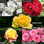 Garden Glamour Rose Bush Collection i...