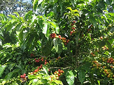 Coffee Bean Plant Seeds ★YEMEN MOKHA SMALL ★ Smallest Coffee Tree ★ 25 Seeds