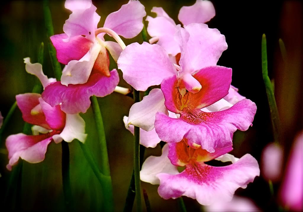 Orchid Plant Vanda