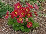 ANEMONE PULSATILLA Seeds~Red Bell (Pasque Flowers) 50 seeds ,Perennial