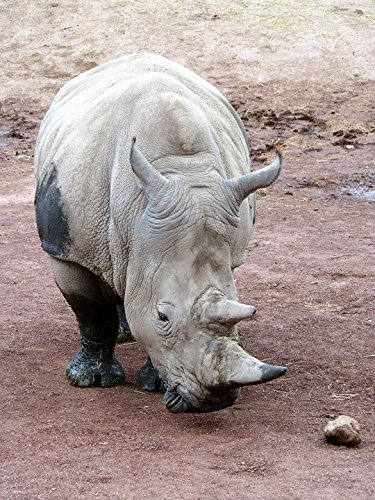 Home Comforts Print on Metal Rhinoceros Rhino Endangered Species Animal Horn Print 12 x 18. Worry Free Wall Installation - Shadow Mount is ()
