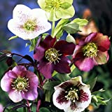 "Royal Heritage Lenten Rose Potted - Helleborus - Shade - 4"" Pot"