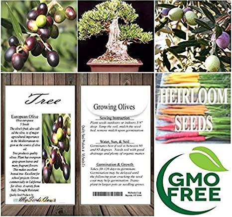 Amazon.com : 5 x OLIVE TREE Olea europaea Seeds BONSAI & Variety from Italy - By MySeeds.Co : Garden & Outdoor