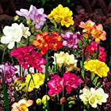 Freesia double flowering mix - 20 flower bulbs