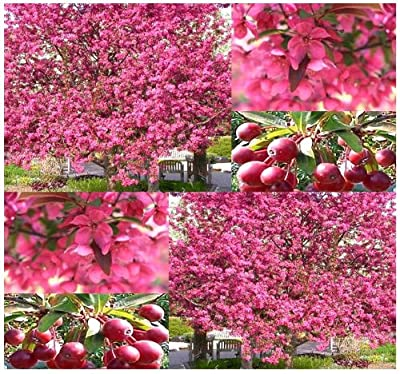 3 Packs x 5 Prairie Fire Crab Apple - Malus prairifire - Tree Seeds - EXCELLENT BONSAI SPECIMEN - Persistent Fruits Attractive To Birds - FRAGRANT BRIGHT PINK BLOOMS - Zones 3 - 8 - By MySeeds.Co