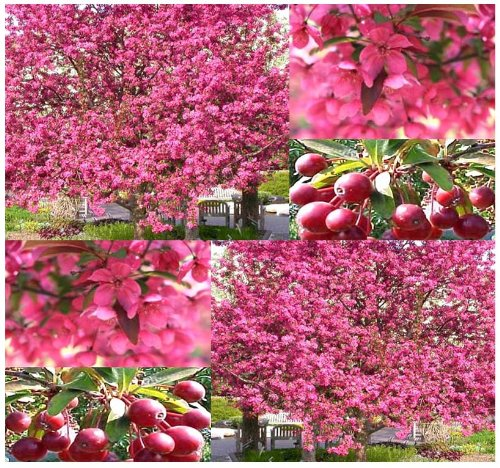 3 Packs x 5 Prairie Fire Crab Apple - Malus prairifire - Tree Seeds - Excellent Bonsai Specimen - Persistent Fruits Attractive to Birds - Fragrant Bright Pink Blooms - - Crabapple Trees