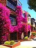50pcs Climbing Bougainvillea Spectabilis Willd perennial Plant Seeds Flower seeds Beautiful Flower for Decorative courtyard 2