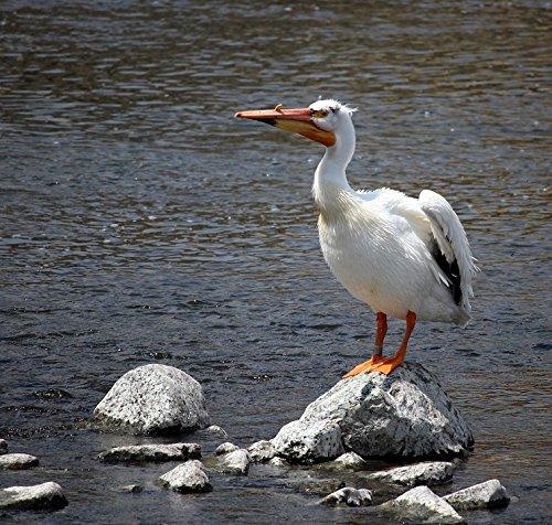 LAMINATED POSTER Appleton Wings Pelican Wisconsin Fox River River Poster Print 24 x - Wisconsin Fox River
