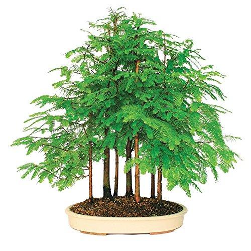 Go Garden Bonsai Plant 50pcs Dawn Redwood Bonsai Tree Grove - Metasequoia glyptostroboides, DIY Home Gardening! Very Easy to Grow!