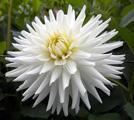 Amazon my love cactus dahlia tuber white star flower 1 my love cactus dahlia tuber white star flower 1 size root clump mightylinksfo