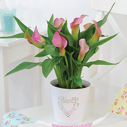 Calla Lily Potted House Plant Arum Lily Zantedeschia Pink Easy To Grow Indoor Plant For Home Office Conservatory 1 X 10cm Pot By Thompson Morgan Amazon Co Uk Garden Outdoors,New York Times Travel Ban To Europe