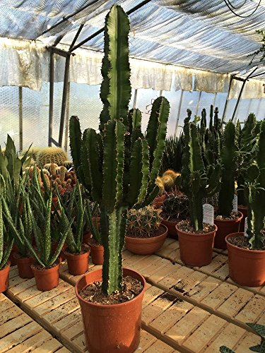 Euphorbia ingens Cactus /& Succulent Plant from Botanicly Height: 70 cm Euphorbia Cactus with Anthracite Cylindrical Plant Pot as a Set
