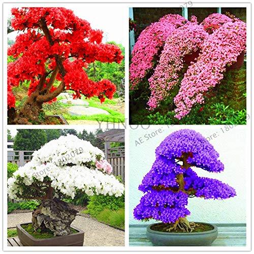 Sakura Japanese Azalea Flower Rare Bonsai Varieties Azalea Seedling(108 Plantas) DIY Home& Garden Plants Looks Like Sakura Japanese Cherry Blooms Flower Pla (Mix Color) ()