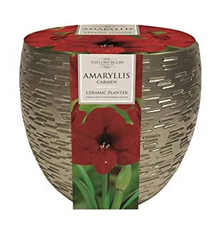 Amaryllis Carmen Bulb /& Metallic Effect Planter Gift Set