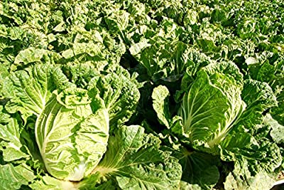 Asian Heirloom Chinese Michilli Cabbage(Napa Cabbage) by Stonysoil Seed Company