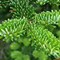 FRASER FIR Abies Fraseri 25 SEEDS