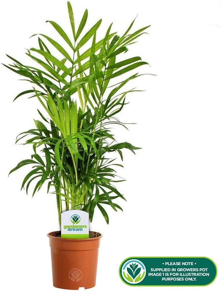 Chamaedorea Parlour Palm Bright Elegans Indoor Reptile Houseplant 13cm Potted