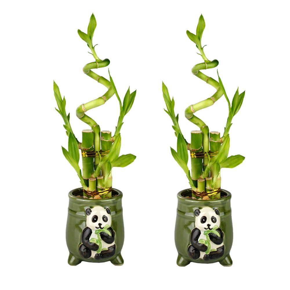 Set of Lucky Bamboo Five Stalk with Spiral Arrangements with Green Ceramic Panda Pots (Set of 2)