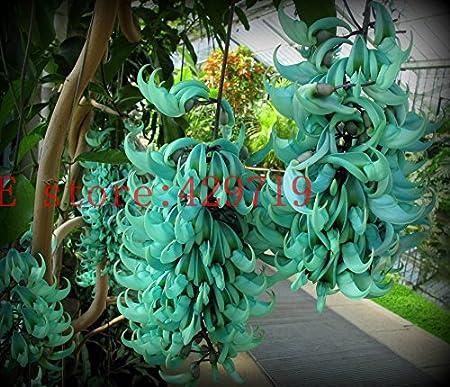 5 seeds  Heirloom Jade Vine Strongylodon Macrobotrys Flower Blue Fragrant