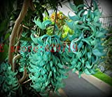 Hot Selling! 20 pcs Endangered Jade Vine 'Strongylodon Macrobotrys' Flower Seeds blue wisteria flowers tree seed for garden planting