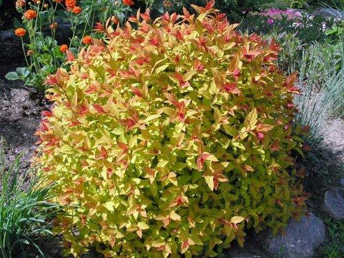 Spirea Magic Carpet > Spiraea japonica 'Walbuma' >Landscape Ready 2 gallon Container
