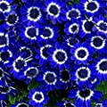 SimingD -Blue Daisy Seeds Potted Blue Daisy Garden Plants Perennials 50 Pieces / 1 bag
