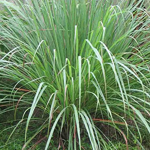 (Lemongrass 100 Seeds Lemon Grass CYMBOPOGON FLEXUOSUS Mosquito Repellent USA)