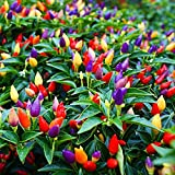 5 Color Pepper Plant Seeds for Planting   25+ Seeds   Exotic Garden Seeds to Grow Multicolored Peppers   Amazing