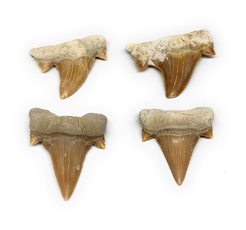 4 개 많은 21.2 그램 1-1.5 작은 자연 화석 물고기 상어 치아 상어 치아 모로코 B12746