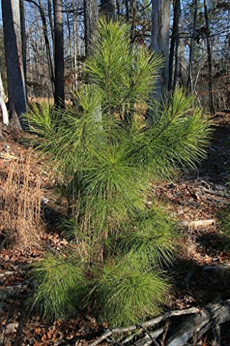 Pinus taeda LOBLOLLY PINE TREE Seeds!