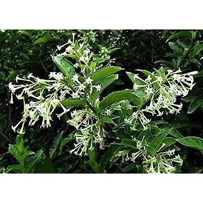 Verazui Night Blooming Jasmine, 10 Seeds, Cestrum nocturnum, Healthy Seeds : Garden & Outdoor