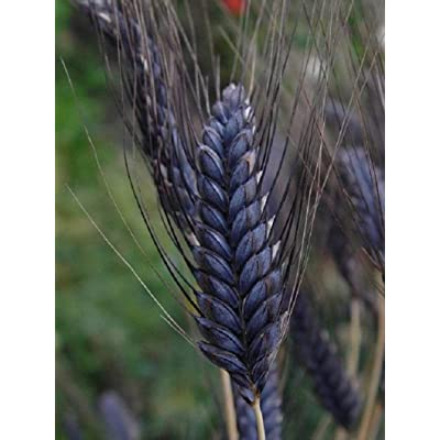 Lumos80 Black Knight Wheat - Ornamental Grass Seeds, Grows Approximately 3 feet Tall with Black Seed Heads (10 Seeds) : Garden & Outdoor