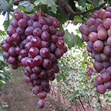 20pcs Red Globe Grape Seeds Garden Sweet Fragrant Juicy Fruit