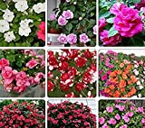 Seeds Market Rare Mix Impatiens walleriana 9 Colors Busy Lizzie Balsam Perennial Flower Seeds, Professional Pack, 20 Seeds / Pack, Bonsai Sultana