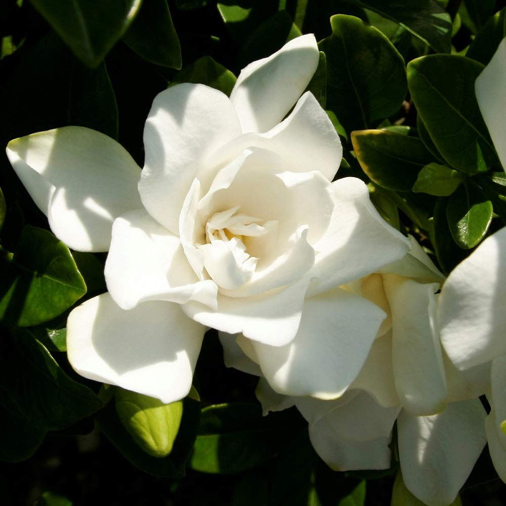2 Gallon - Jubilation Gardenia - White Fragrant Blooms - Evergreen Shrub