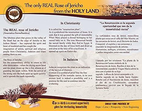 Amazon.com: Real Judea Desert Rose del rosa de Jericó, Mary ...