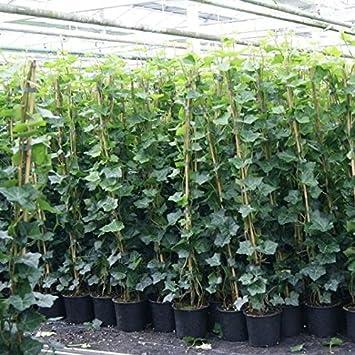 Kletterpflanze Immergrün efeu hedera hibernica 175 200cm immergrüne kletterpflanzen für