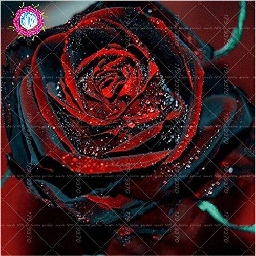 100pcs/bag Black Baccara Hybrid Rose Shrub Flower Seeds, Fresh Exotic True Blood Rose Flower Plant Home Garden Bonsai Easy Plant