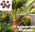 10 Washington palm seeds, ( WASHINGTONIA FILIBUSTA ) from Hand Picked Nursery