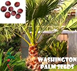 25 Washington palm seeds, ( WASHINGTONIA FILIBUSTA ) from Hand Picked Nursery