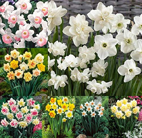 50 Daffodil Bulbs Mix Colors Single Doubles Flower Yellow White Pink Spring Fall